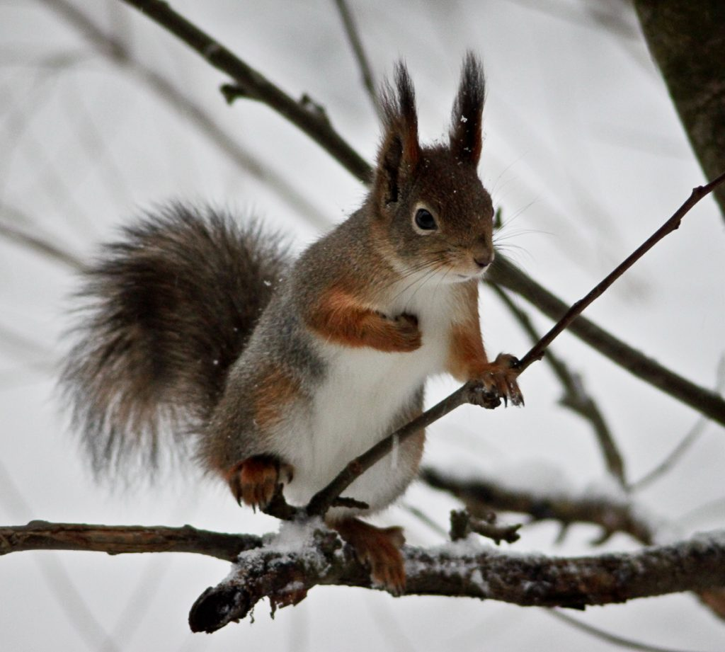 Squirrels are among the most common mammals in Vanhankaupunginlahti. Photo: Esa Nikunen